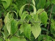 Живая изгородь из лиственных растений Чубушник венечный (Philadelphus coronarius) - 104