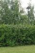 Живая изгородь из лиственных растений Чубушник венечный (Philadelphus coronarius) - 105