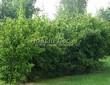 Живая изгородь из лиственных растений Чубушник венечный (Philadelphus coronarius) - 106