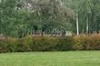 Живая изгородь из лиственных растений Чубушник венечный (Philadelphus coronarius) - 107