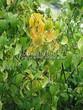 Живая изгородь из лиственных растений Чубушник венечный (Philadelphus coronarius) - 108