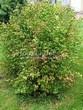 Живая изгородь из лиственных растений Чубушник венечный (Philadelphus coronarius) - 109