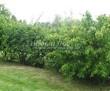 Живая изгородь из лиственных растений Чубушник венечный (Philadelphus coronarius) - 110
