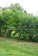 Живая изгородь из лиственных растений Чубушник венечный (Philadelphus coronarius) - 111