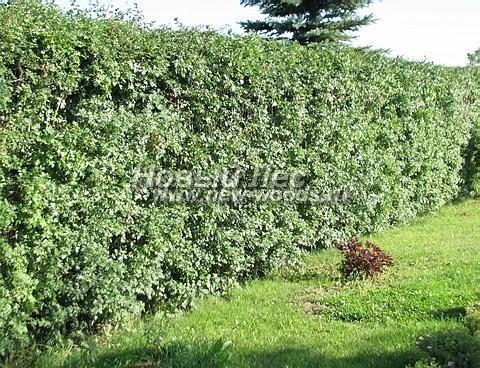 Живая изгородь из лиственных растений Боярышник однопестичный (Crataegus monogyna)