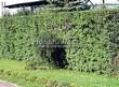 Стриженая живая изгородь из лиственных растений Боярышник однопестичный (Crataegus monogyna) - 301