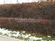 Стриженая живая изгородь из лиственных растений Боярышник однопестичный (Crataegus monogyna) - 303
