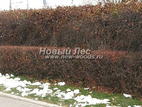 Живые изгороди: стриженая двухъярусная изгородь из Боярышника (высота ярусов 80 см и 2 метра соответственно, Москва)