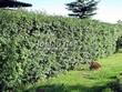 Стриженая живая изгородь из лиственных растений Боярышник однопестичный (Crataegus monogyna) - 304
