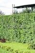 Стриженая живая изгородь из лиственных растений Боярышник однопестичный (Crataegus monogyna) - 305
