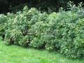 Живая изгородь из лиственных растений Роза морщинистая (Шиповник морщинистый) (Rosa rugosa)