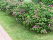 Живая изгородь из лиственных растений Роза морщинистая (Шиповник морщинистый) (Rosa rugosa) - 101