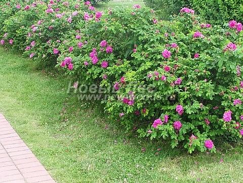 Шиповник роза морщинистая