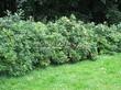 Живая изгородь из лиственных растений Роза морщинистая (Шиповник морщинистый) (Rosa rugosa) - 102