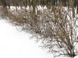 Живая изгородь из лиственных растений Роза морщинистая (Шиповник морщинистый) (Rosa rugosa) - 103