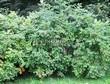 Живая изгородь из лиственных растений Роза морщинистая (Шиповник морщинистый) (Rosa rugosa) - 104