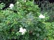 Живая изгородь из лиственных растений Роза морщинистая (Шиповник морщинистый) (Rosa rugosa) - 105