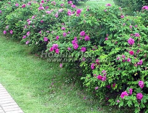 Живые изгороди: Шиповник морщинистый форма красная в изгороди в период цветения (красные цветки, высота 70 см, Московская область)