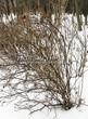 Живая изгородь из лиственных растений Роза морщинистая (Шиповник морщинистый) (Rosa rugosa) - 108