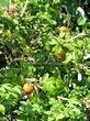 Живая изгородь из лиственных растений Роза морщинистая (Шиповник морщинистый) (Rosa rugosa) - 109
