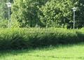 Живая изгородь из лиственных растений Смородина золотистая (Ribes aureum)