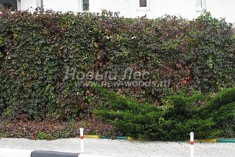 Живая изгородь из лиственных растений Девичий виноград пятилисточковый (Parthenocissus quinquefolia)