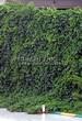 Живая изгородь из лиственных растений Девичий виноград пятилисточковый (Parthenocissus quinquefolia) - 101