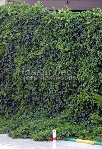 Живые изгороди: изгородь из Девичьего винограда на бетонной стене-опоре при въезде на автостоянку в городе (высота 3 метра, Московская область)