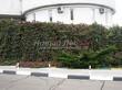 Живая изгородь из лиственных растений Девичий виноград пятилисточковый (Parthenocissus quinquefolia) - 102
