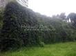 Живая изгородь из лиственных растений Девичий виноград пятилисточковый (Parthenocissus quinquefolia) - 103