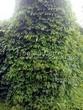 Живая изгородь из лиственных растений Девичий виноград пятилисточковый (Parthenocissus quinquefolia) - 104
