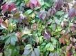 Живая изгородь из лиственных растений Девичий виноград пятилисточковый (Parthenocissus quinquefolia) - 105
