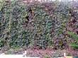 Живая изгородь из лиственных растений Девичий виноград пятилисточковый (Parthenocissus quinquefolia) - 106