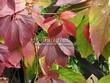 Живая изгородь из лиственных растений Девичий виноград пятилисточковый (Parthenocissus quinquefolia) - 107