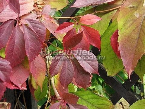 Живые изгороди: осенняя окраска листвы растения Девичий виноград пятилисточковый (сентябрь)