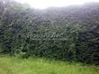 Живая изгородь из лиственных растений Девичий виноград пятилисточковый (Parthenocissus quinquefolia) - 108