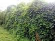 Живая изгородь из лиственных растений Девичий виноград пятилисточковый (Parthenocissus quinquefolia) - 109