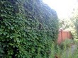 Живая изгородь из лиственных растений Девичий виноград пятилисточковый (Parthenocissus quinquefolia) - 110