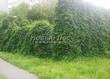 Живая изгородь из лиственных растений Девичий виноград пятилисточковый (Parthenocissus quinquefolia) - 111