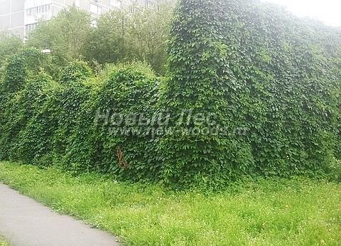 Живые изгороди: спортивная площадка, скрытая от внешнего взора за изгородью из Девичьего винограда пятилисточкового (высота 4 метра и 7 метров, опора - оцинкованный забор-сетка, Москва)