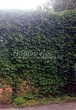 Живая изгородь из лиственных растений Девичий виноград пятилисточковый (Parthenocissus quinquefolia) - 112