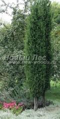 Хвойный крупномер Можжевельник обыкновенный Хиберника (Juniperus communis 'Hibernica')