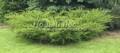Хвойный крупномер Можжевельник средний (Можжевельник пфитцериана) Минт Джулеп (Минт Жулеп) (Juniperus x media (Juniperus x pfitzeriana) 'Mint Julep')