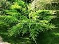 Хвойный крупномер Можжевельник средний (Можжевельник пфитцериана) Олд Голд (Juniperus x media (Juniperus x pfitzeriana) 'Old Gold')