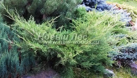 Хвойный крупномер Можжевельник средний (Можжевельник пфитцериана) Пфитцериана Ауреа (Juniperus x media (Juniperus x pfitzeriana) 'Pfitzeriana Aurea')