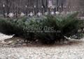 Хвойный крупномер Можжевельник казацкий (Juniperus sabina)