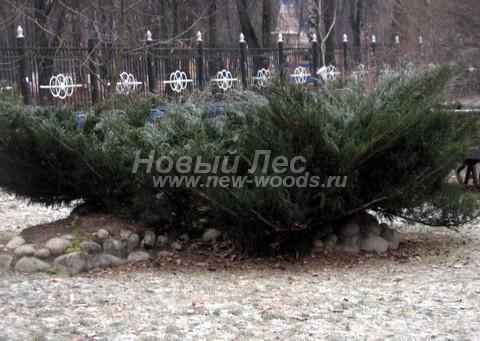 Посадка крупномеров хвойных растений Можжевельника казацкого