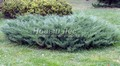 Хвойный крупномер Можжевельник казацкий Глаука (Juniperus sabina 'Glauca')
