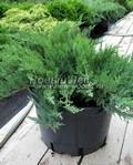 Хвойный крупномер Можжевельник казацкий Тамарисцифолия (Juniperus sabina 'Tamariscifolia')