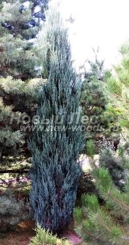 Хвойный крупномер Можжевельник скальный Блю Эрроу (Блу Арроу) (Juniperus scopulorum 'Blue Arrow')